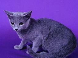 Warrior Cats [RP APP] GreyKitten-Russian_Blue_Cat-by_2catz